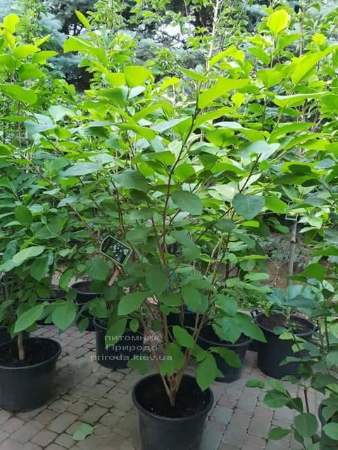 Магнолия Зибольда (Magnolia sieboldii) ФОТО Питомник растений Природа (Priroda) (1)