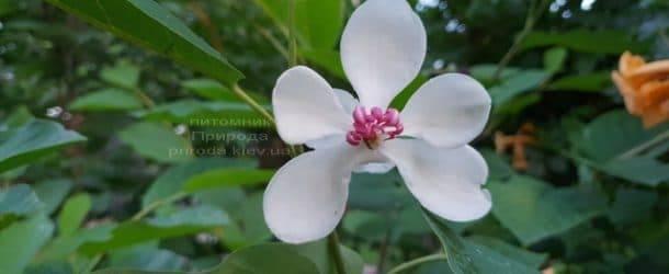 Магнолия Зибольда (Magnolia sieboldii) ФОТО Питомник растений Природа (Priroda) (10)