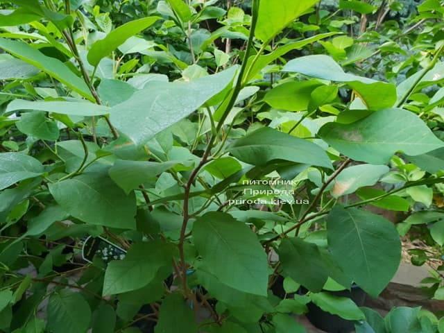 Магнолия Зибольда (Magnolia sieboldii) ФОТО Питомник растений Природа (Priroda) (2)