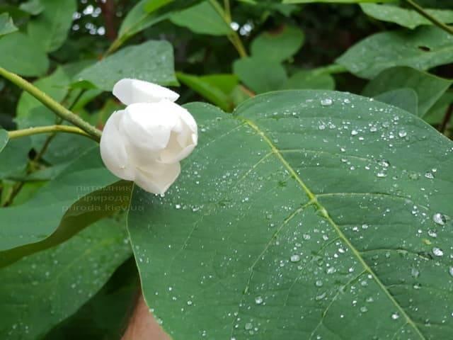Магнолия Зибольда (Magnolia sieboldii) ФОТО Питомник растений Природа (Priroda) (3)
