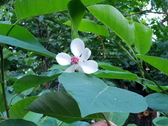 Магнолия Зибольда (Magnolia sieboldii) ФОТО Питомник растений Природа (Priroda) (6)