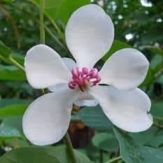 Магнолия Зибольда (Magnolia sieboldii) ФОТО Питомник растений Природа (Priroda) (7)