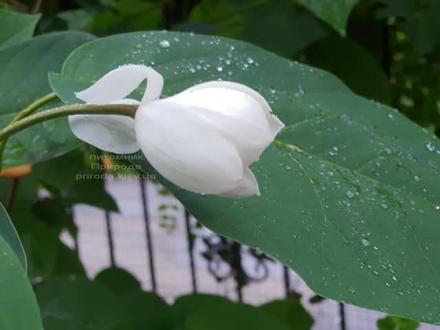 Магнолия Зибольда (Magnolia sieboldii) ФОТО Питомник растений Природа (Priroda) (8)