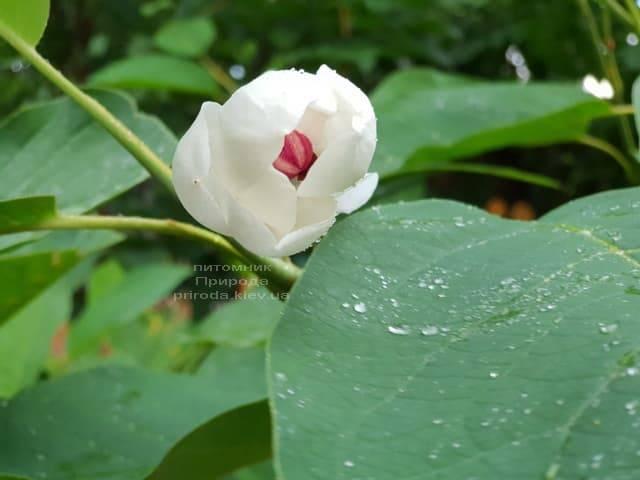 Магнолия Зибольда (Magnolia sieboldii) ФОТО Питомник растений Природа (Priroda) (9)