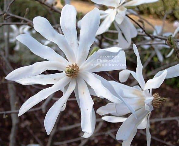 Магнолия звёздчатая (Magnolia stellata) ФОТО Питомник растений Природа (Priroda) (4)