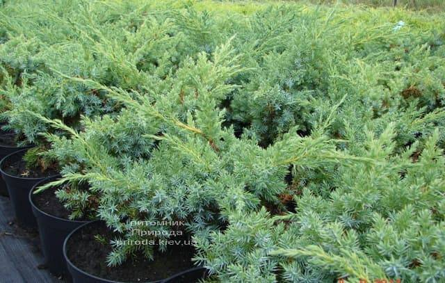 Можжевельник чешуйчатый Ханнеторп (Блю Швед) (Juniperus squamata Hunnetorp (Blue Swede)) ФОТО Питомник растений Природа (1)