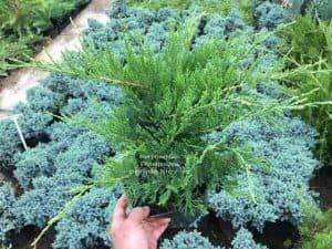 Можжевельник средний / пфитцериана Минт Джулеп (Juniperus media / pfitzeriana Mint Julep) ФОТО Питомник растений Природа (Priroda) (1)