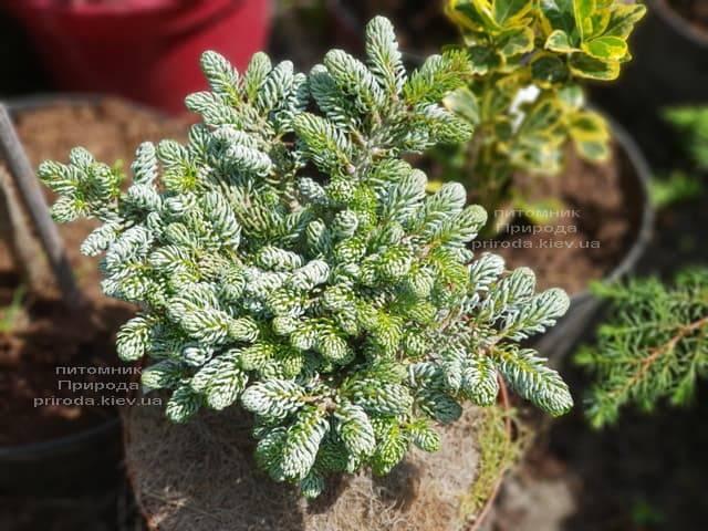 Пихта корейская Когоутс Айсбрейкер (Abies koreana Kohouts Isebreaker) ФОТО Питомник растений Природа (Priroda) (1)