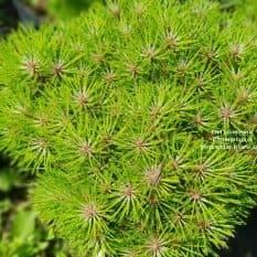 Сосна чёрная Блэк Принц (Pinus nigra Black Prince) ФОТО Питомник растений Природа (Priroda) (1)