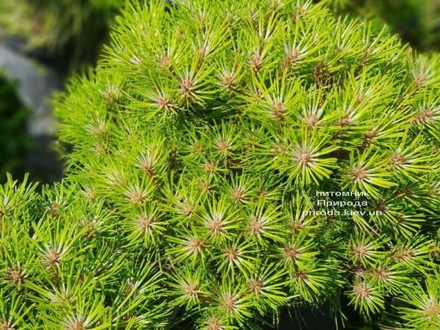 Сосна чёрная Блэк Принц (Pinus nigra Black Prince) ФОТО Питомник растений Природа (Priroda) (2)