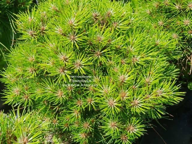 Сосна чёрная Блэк Принц (Pinus nigra Black Prince) ФОТО Питомник растений Природа (Priroda) (3)