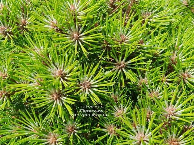 Сосна чёрная Блэк Принц (Pinus nigra Black Prince) ФОТО Питомник растений Природа (Priroda) (4)