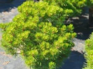 Сосна чёрная Джоска (Pinus nigra Joska) ФОТО Питомник растений Природа (Priroda) (1)