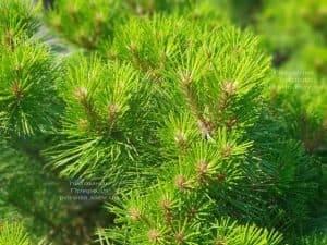 Сосна чёрная Джоска (Pinus nigra Joska) ФОТО Питомник растений Природа (Priroda) (2)
