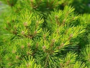Сосна чёрная Джоска (Pinus nigra Joska) ФОТО Питомник растений Природа (Priroda) (4)