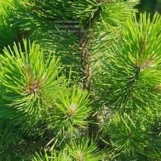 Сосна чёрная Вурстле (Pinus nigra Wurstle) ФОТО Питомник растений Природа (Priroda) (4)