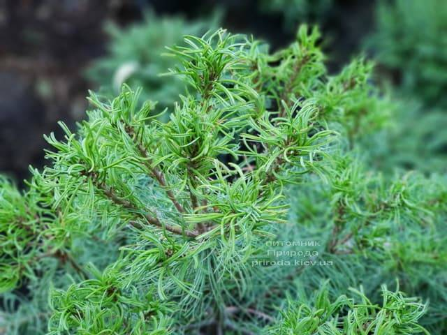 Сосна Веймутова Тайни Керлз (Pinus strobus Tiny Curls) ФОТО Питомник растений Природа (Priroda) (2)