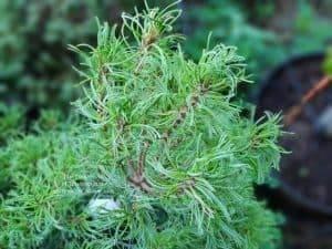 Сосна Веймутова Тайни Керлз (Pinus strobus Tiny Curls) ФОТО Питомник растений Природа (Priroda) (4)