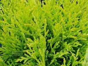 Туя западная шаровидная Голден Глоб (Thuja occidentalis Golden Globe) ФОТО Питомник растений Природа (2)