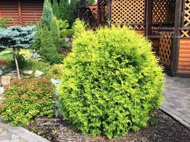 Туя западная шаровидная Голден Глоб (Thuja occidentalis Golden Globe) ФОТО Питомник растений Природа (5)