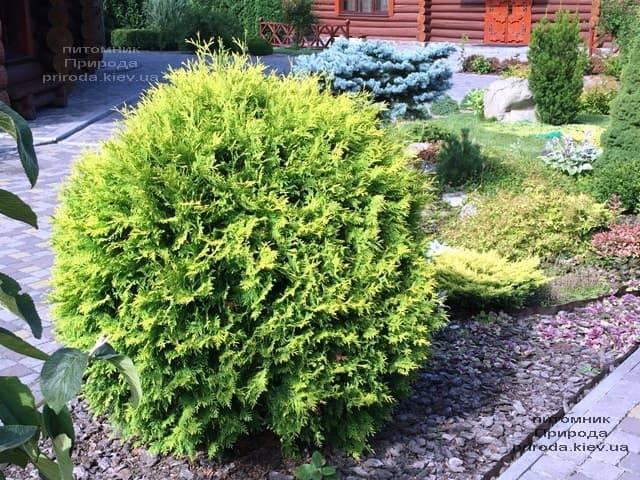 Туя западная шаровидная Селена (Thuja occidentalis Selena) ФОТО Питомник растений Природа (1)