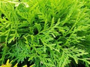 Туя западная шаровидная Селена (Thuja occidentalis Selena) ФОТО Питомник растений Природа (4)