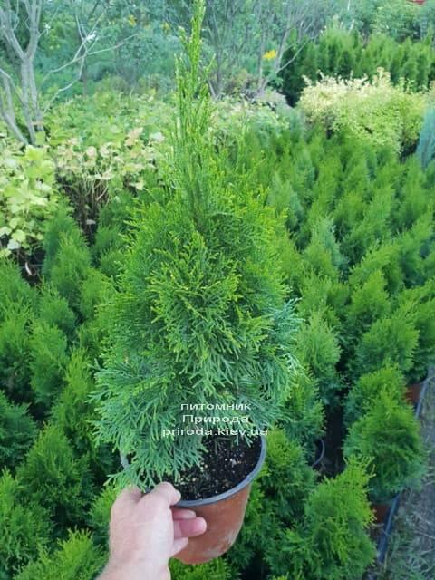 Туя западная Смарагд (Thuja occidentalis Smaragd) ФОТО Питомник растений Природа (1)