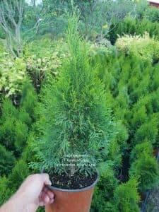 Туя западная Смарагд (Thuja occidentalis Smaragd) ФОТО Питомник растений Природа (2)