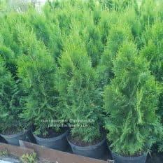 Туя западная Смарагд (Thuja occidentalis Smaragd) ФОТО Питомник растений Природа (6)