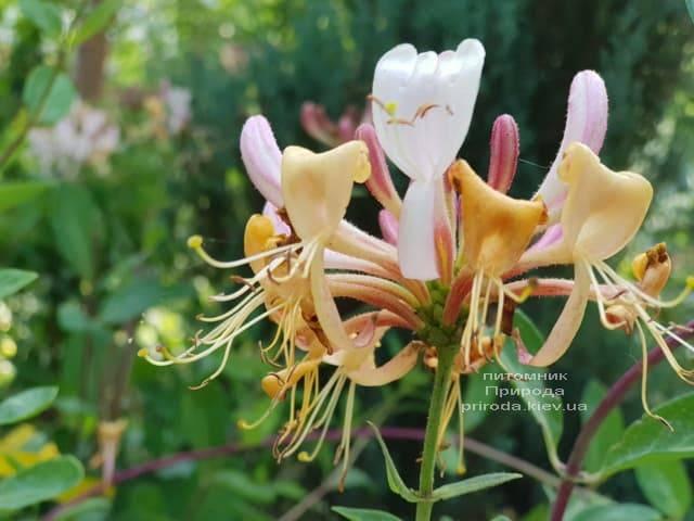 Жимолость вьющаяся (Lonicera periclymenum) ФОТО Питомник растений Природа (Priroda) (4)
