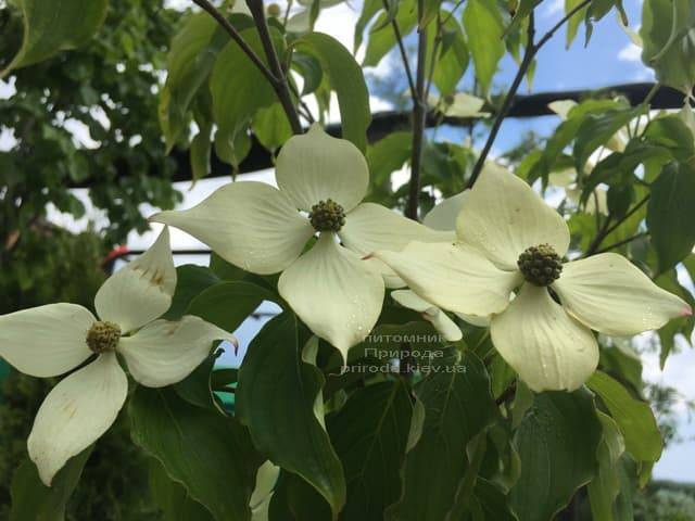 Дерен Коуза (Китайский) (Cornus kousa) ФОТО Питомник растений Природа (3)