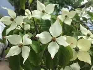 Дерен Коуза (Китайский) (Cornus kousa) ФОТО Питомник растений Природа (7)