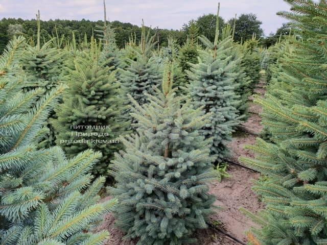 Ель голубая Глаука (Picea pungens Glauca) ФОТО Питомник растений Природа (1)