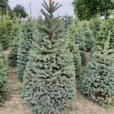 Ель голубая Глаука (Picea pungens Glauca) ФОТО Питомник растений Природа (10)