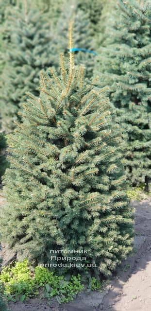 Ель голубая Глаука (Picea pungens Glauca) ФОТО Питомник растений Природа (11)