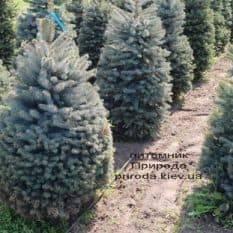 Ель голубая Глаука (Picea pungens Glauca) ФОТО Питомник растений Природа (14)