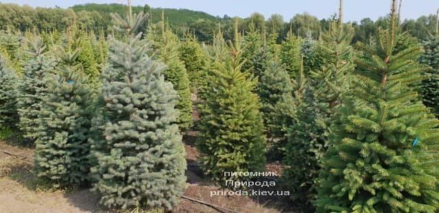 Ель голубая Глаука (Picea pungens Glauca) ФОТО Питомник растений Природа (15)