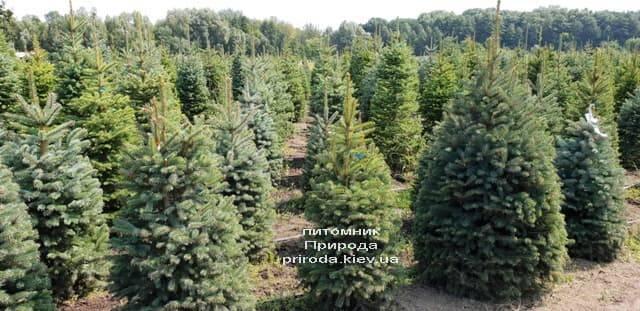 Ель голубая Глаука (Picea pungens Glauca) ФОТО Питомник растений Природа (18)