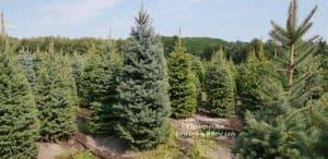 Ель голубая Глаука (Picea pungens Glauca) ФОТО Питомник растений Природа (19)