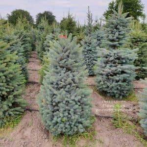 Ель голубая Глаука (Picea pungens Glauca) ФОТО Питомник растений Природа (2)