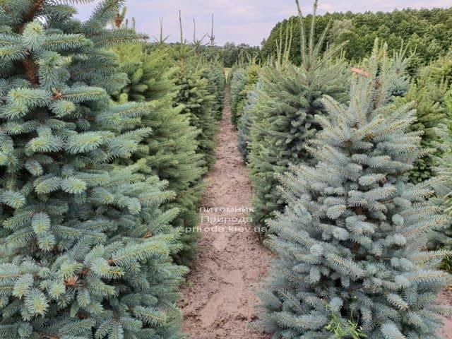 Ель голубая Глаука (Picea pungens Glauca) ФОТО Питомник растений Природа (3)