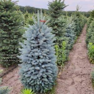 Ель голубая Глаука (Picea pungens Glauca) ФОТО Питомник растений Природа (4)