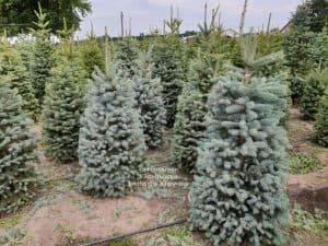 Ель голубая Глаука (Picea pungens Glauca) ФОТО Питомник растений Природа (5)