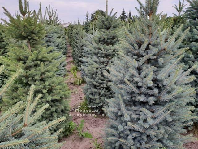 Ель голубая Глаука (Picea pungens Glauca) ФОТО Питомник растений Природа (6)