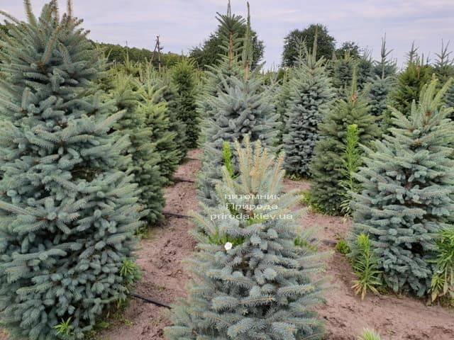 Ель голубая Глаука (Picea pungens Glauca) ФОТО Питомник растений Природа (7)