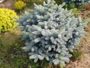 Ель голубая Глаука Глобоза (Picea pungens Glauca Globosa) ФОТО Питомник растений Природа (1)