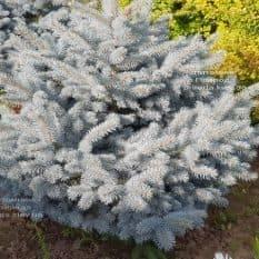 Ель голубая Глаука Глобоза (Picea pungens Glauca Globosa) ФОТО Питомник растений Природа (3)