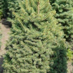 Ель зелёная колючая Глаука (Picea pungens Glauca) ФОТО Питомник растений Природа (1)