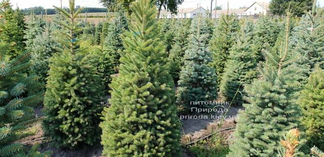 Ель зелёная колючая Глаука (Picea pungens Glauca) ФОТО Питомник растений Природа (10)