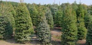 Ель зелёная колючая Глаука (Picea pungens Glauca) ФОТО Питомник растений Природа (11)